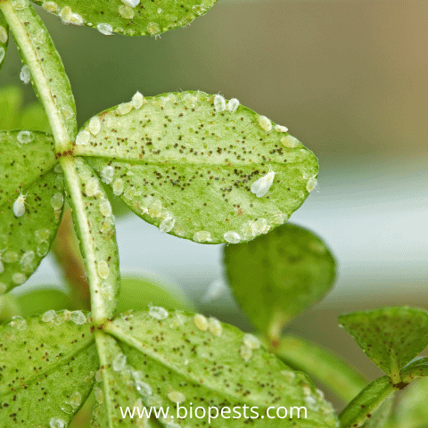 whitefly on leaves